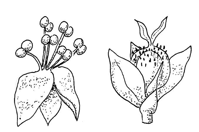 Planta monoica unisexual plants