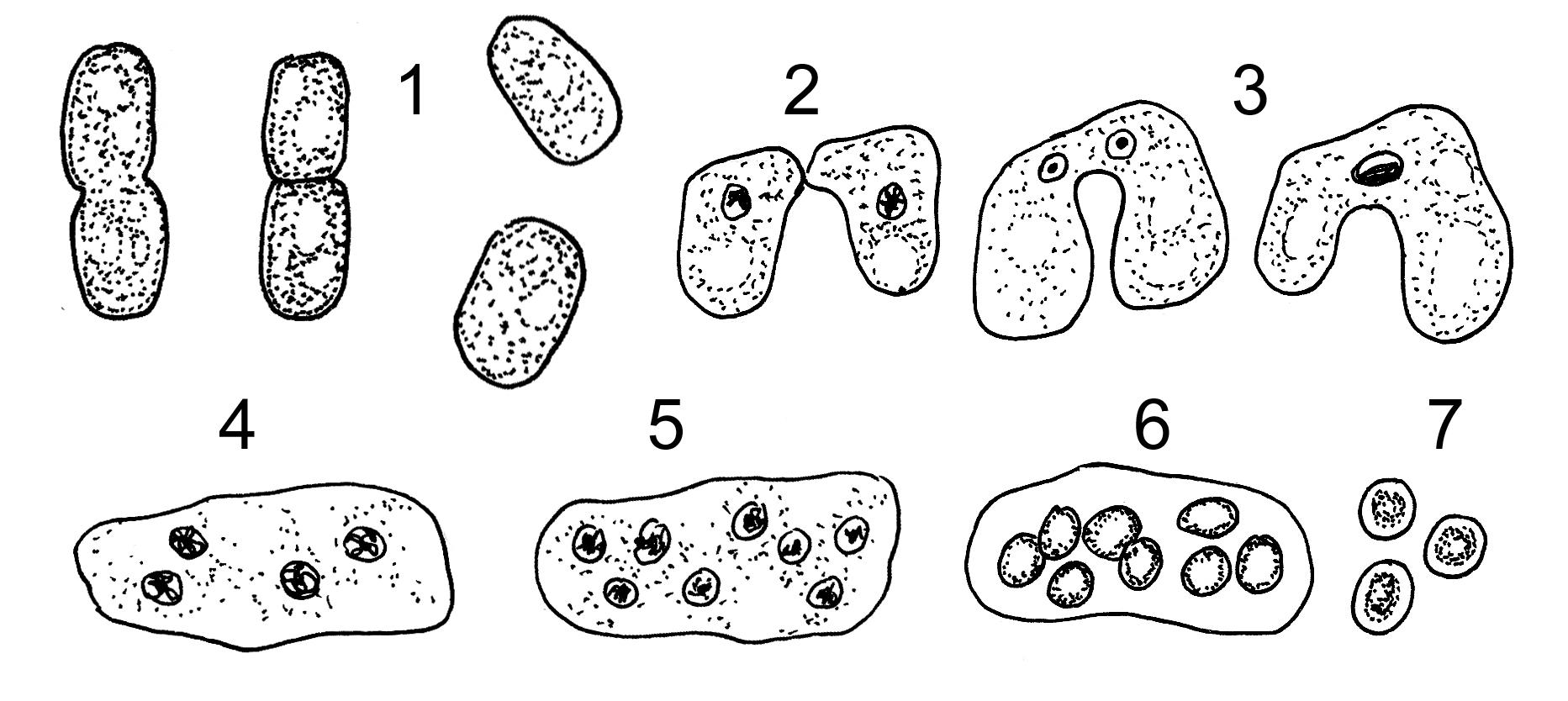 Ejemplos de reproduccion asexual en hongos