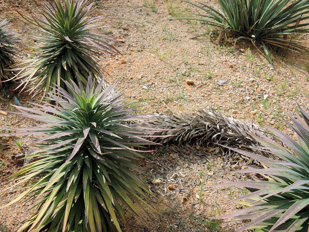 Yucca desmetiana Yucca_desmetiana_01