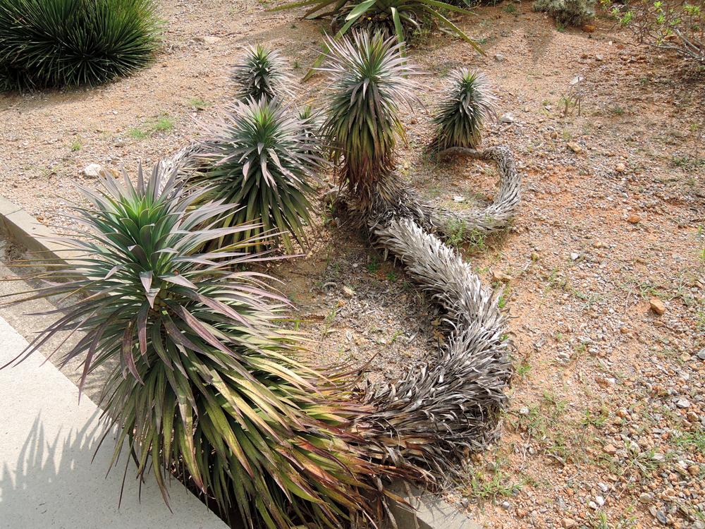Yucca desmetiana Yucca_desmetiana_02